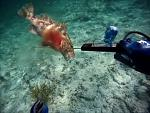 Click image for larger version  Name:nassau grouper.jpg Views:134 Size:25.9 KB ID:200102