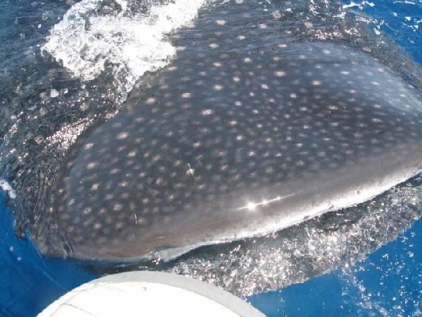 Puerto Rico Whale shark